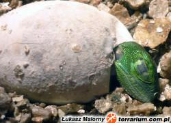 Legwan zielony – iguana iguana – raport rozmnożeniowy