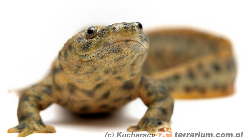 Amphibia – płazy