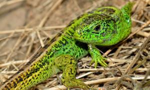 Lacerta agilis – jaszczurka zwinka