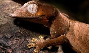 Uroplatus phantasticus – gekon liścioogonowy
