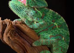 Kameleon jemeński – pytania