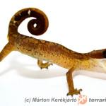 Aeluroscalabotes felinus – gekon koci*, eublefar koci
