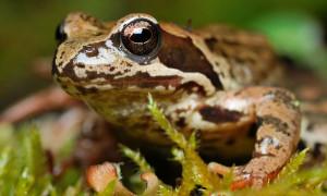 Rana temporaria – żaba trawna