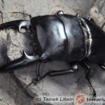 Dorcus titanus palawanicus