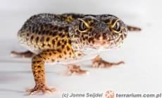 Genetyka – podstawy dziedziczenia na podstawie gekona lamparciego