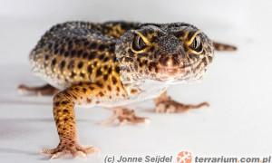 Podstawy dziedziczenia na podstawie gekona lamparciego