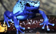 Dendrobates tinctorius 'Azureus' – drzewołaz niebieski