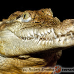 Caiman crocodilus – kajman okularowy