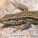 Lacertilia – jaszczurki