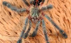 Avicularia spp.