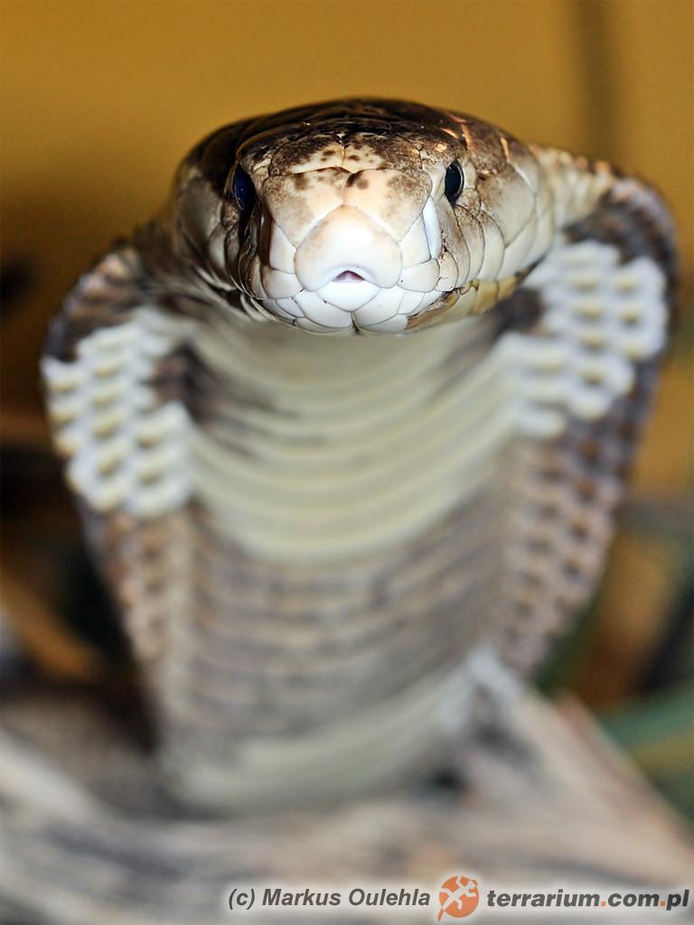 Naja kaouthia - kobra monoklowa