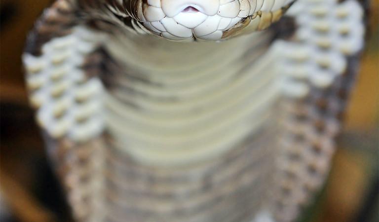 Jad kobry pomocny w chirurgii onkologicznej