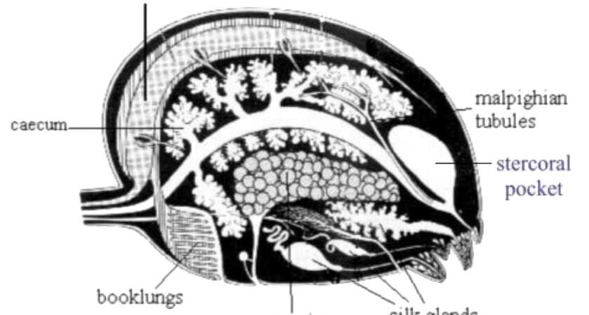 Pająki – trawienie i przechowywanie pokarmu
