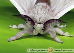 Bombyx mori – jedwabnik morwowy