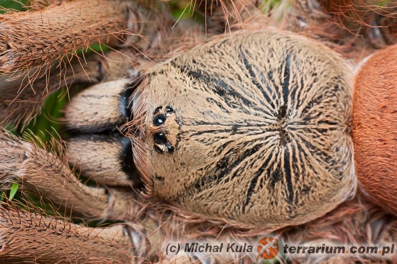 Tapinauchenius gigas - ptasznik