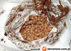 Acanthoscurria geniculata – ptasznik białokolanowy – raport rozmnożeniowy 4