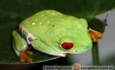 Agalychnis spp.