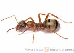 Formica cinerea – pierwomrówka żwirowa