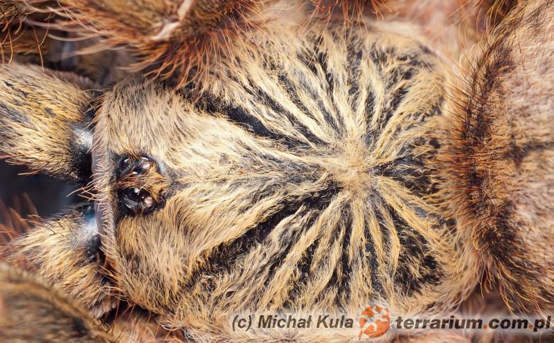 Pterinochilus murinus - ptasznik słoneczny