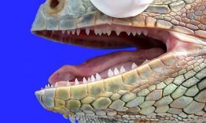 Zarys anatomii i fizjologii legwana zielonego (Iguana iguana)