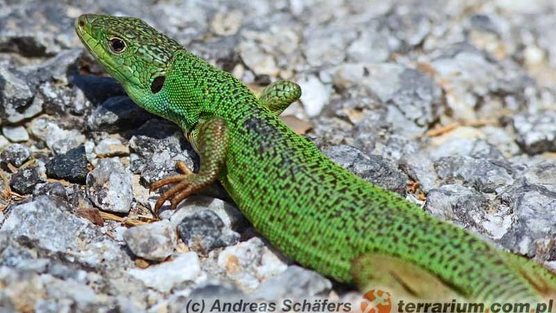 Lacerta trilineata – jaszczurka trójpręga