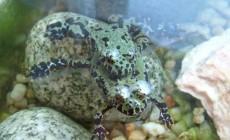 Bombina orientalis – kumak dalekowschodni – raport rozmnożeniowy