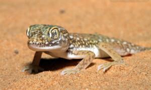 Stenodactylus petrii – gekon perełkowy