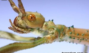 Diapherodes gigantea