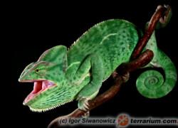 Chamaeleo calyptratus – kameleon jemeński
