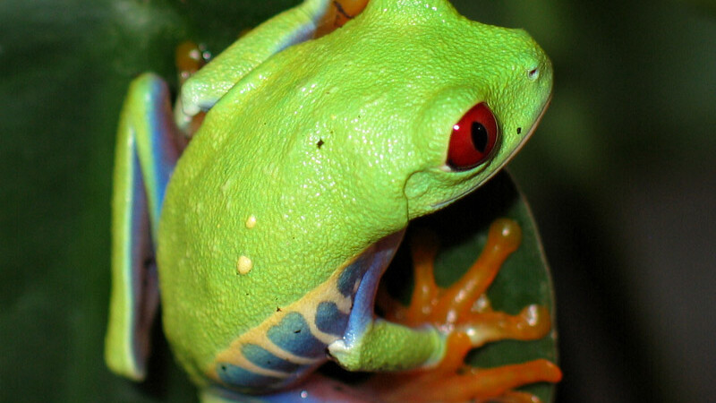 Dlaczego żaby są zielone?