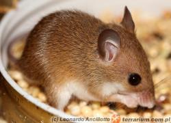 Mus minutoides – mysz pigmejska
