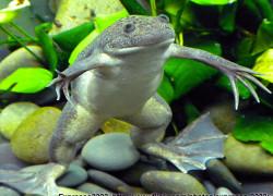 Skóra żaby szponiastej Xenopus laevis potrafi wydzielać antybiotyki