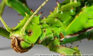 Heteropteryx dilatata – straszyk olbrzymi