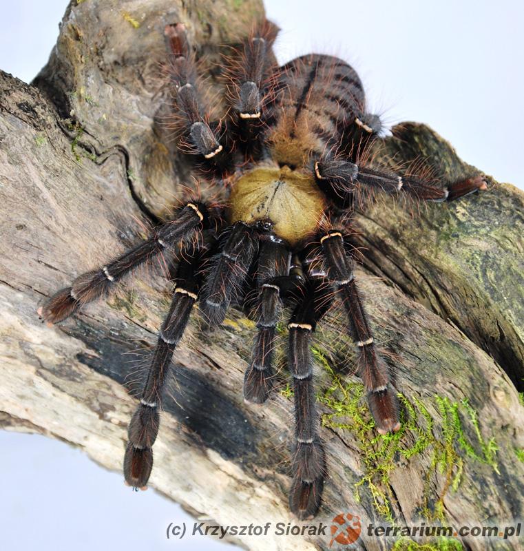 Dorosła samica - Cyriopagopus schioedtei - ptasznik