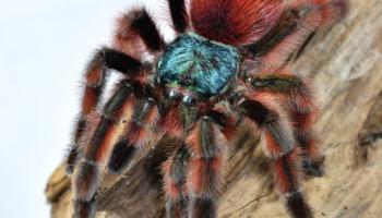 Caribena versicolor – ptasznik wielobarwny