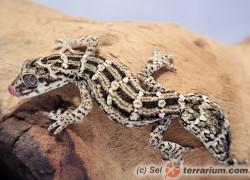 Hemidactylus imbricatus – gekon żmijowy
