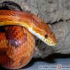 P.guttatus - wild type