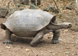 Sukces w ochronie żółwi słoniowych (Chelonoidis nigra)