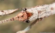 Lonchodes amaurops
