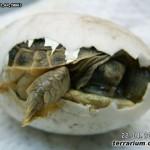 Rozmnażanie i hodowla żółwi stepowych (Testudo horsfieldii) w warunkach terraryjnych
