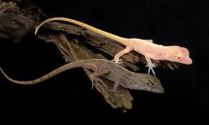 Pierwszy genetycznie zmodyfikowany gad – anolis albinos