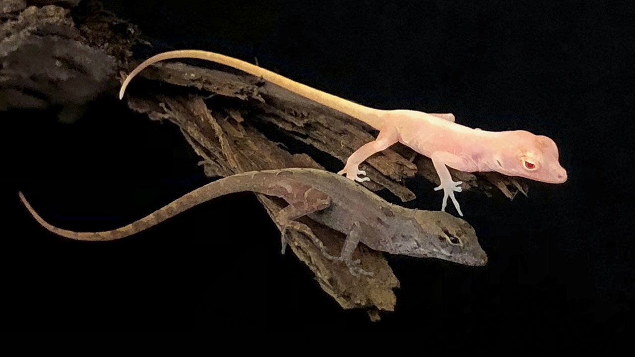 Anolis sargei albinos