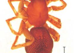 Nowy gatunek pająka w faunie Polski – Clubiona saxatilis