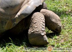 Testudines – żółwie
