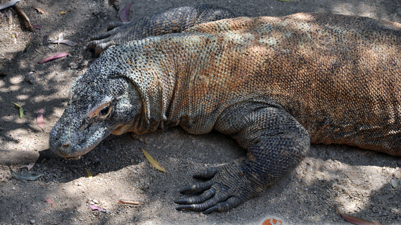 Varanus komodoensis – waran z komodo