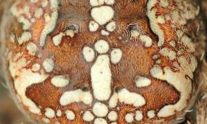 Araneidae i Tetragnathidae – przegląd polskich krzyżaków