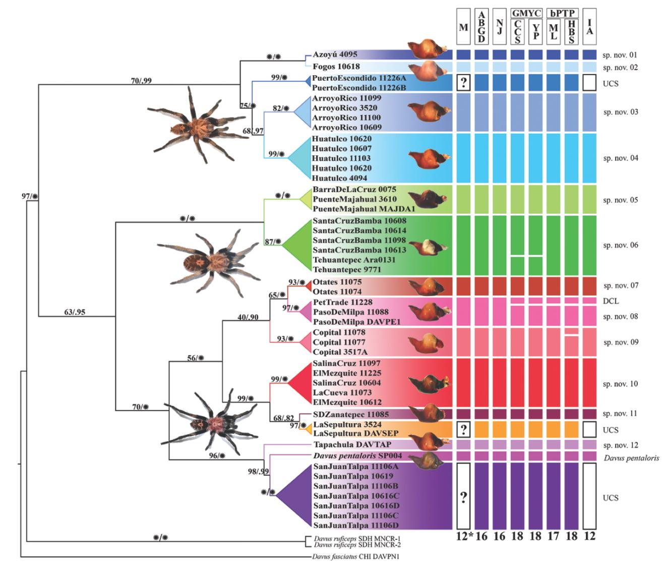 Davus - Drzewo filogenetyczne