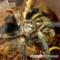 Phormictopus auratus – ptasznik złocisty