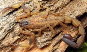 Lychas mucronatus