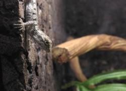 Diploderma splendidum (dawniej Japalura splendida) – Raport rozmnożenia
